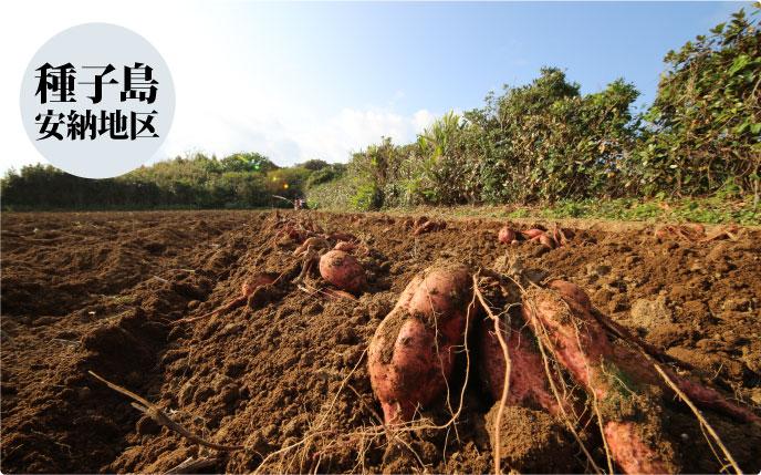 種子島安納地区の安納芋畑